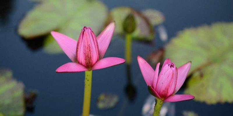 Best in Guangzhou Ornamental lotus route